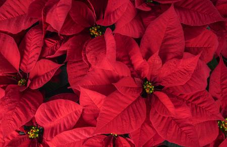 flor de pascua: Hasta cerca de rojo brillante de Navidad del Poinsettia Foto de archivo
