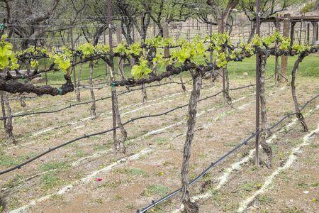 zinfandel: Zinfandel Vines and Irrigation Lines