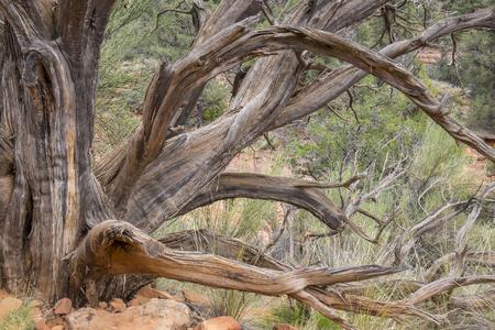 Dead Tree in the Desert Фото со стока
