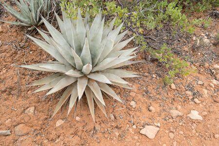 full grown: Full Grown Agave Plant in the Desert Environment