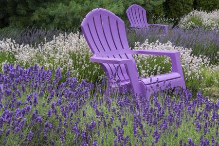 Purple Adirondack Chairs in a Lavender Field Foto de archivo