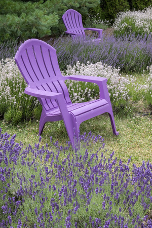 Purple Adirondack Chairs In A Lavender Field Stock Photo   60184725