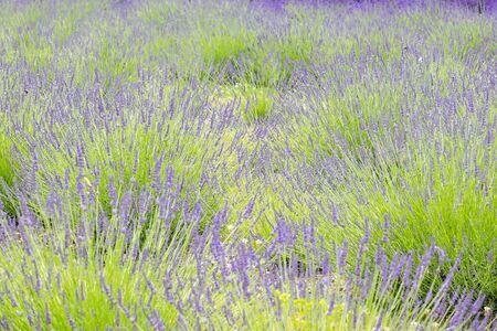 lavender field: Lavender Field