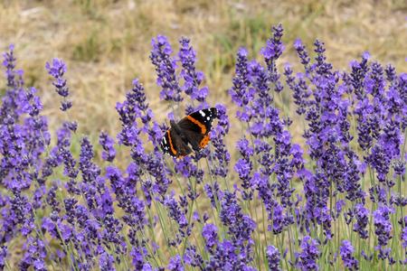 Monarch Butterfly on Purple Lavender Flower