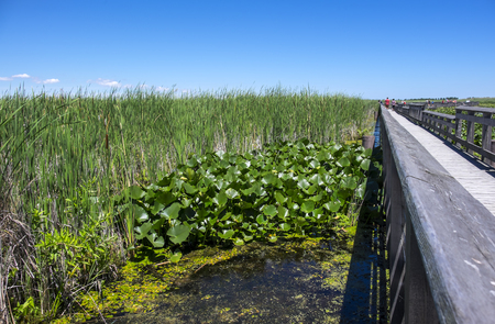 cattails: Boardwalk in a Marsh Surrounded by Cattails Stock Photo