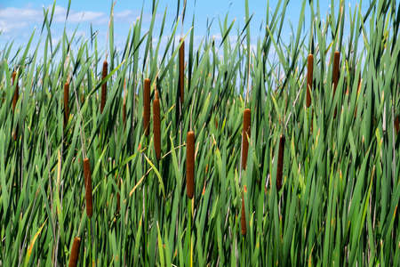 cattails: Cattails in a Marsh