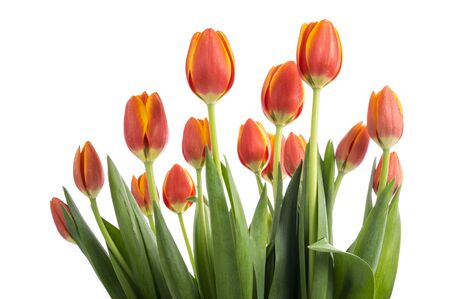 Bunch of Peach Color Tulips Isolated on White