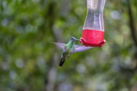 A Female White-necked Jacobin at the Feeder