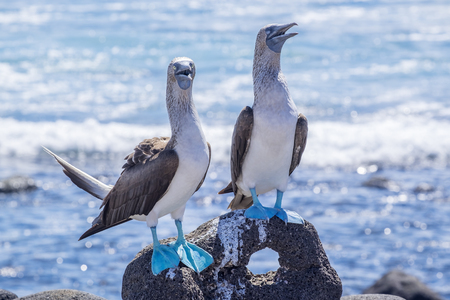 Paar Blue-footed Boobies op de Lava Rocks by the Sea Stockfoto - 77898526