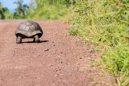 Giant Tortoise Walking on a Dirt Road in Santa Cruz Highlands in the Galapagos Ecuador Archivio Fotografico