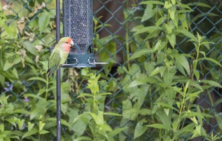 Escaped Love Bird at a Backyard Bird Feeder