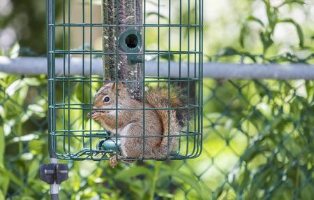 Red Squirrel Stealing Bird Seeds Stock fotó - 85850387
