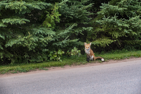Suspicious Fox Sitting at the Side of the Road Staring at Passer By