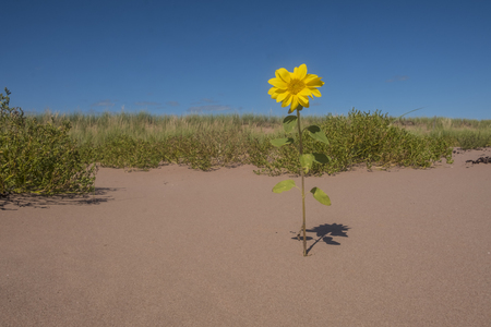 One Lonely Small Sunflowers Blooming in a Sand Dune Near Sally's Beach Prince Edward Island Canada