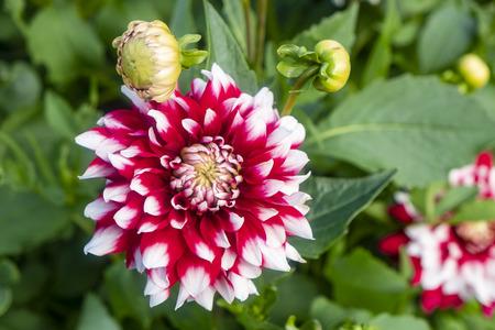 Blooming Dahlia in a Garden Reklamní fotografie