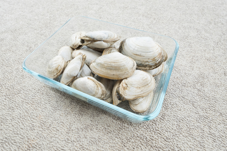 Live Quahogs or Hard-shell Clams