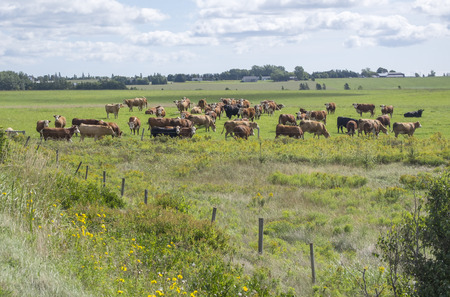 Cattles Grazing in the Field