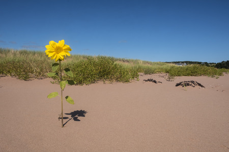 One Lonely Small Sunflowers Blooming in a Sand Dune Near Sallys Beach Prince Edward Island Canada
