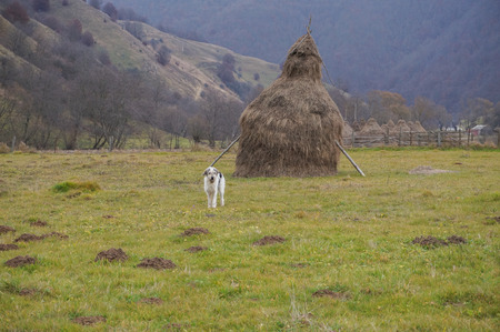 Lonely sheppard dog guarding his haystack