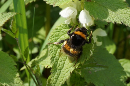 stinging  nettle: Macro of Bumblebee on stinging nettle Stock Photo
