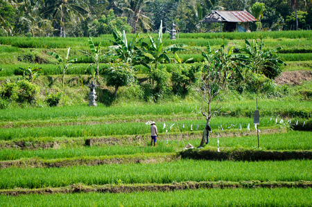 cultivating: Balinese rice farmer in the field