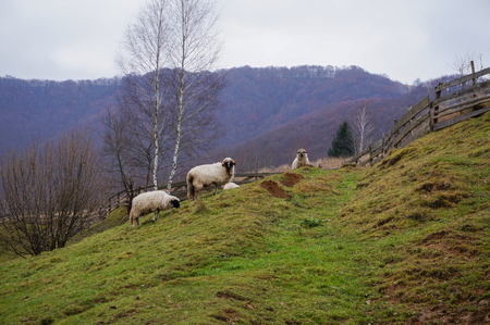 A group of sheep grazing on a hillside Stock Photo