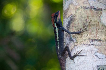 Masked spiny lizard on a tree in Khao Lak - Lamru national park Stock Photo