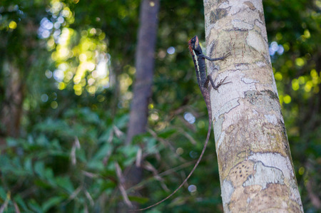 Masked spiny lizard on a tree in Khao Lak - Lamru national park Stock Photo