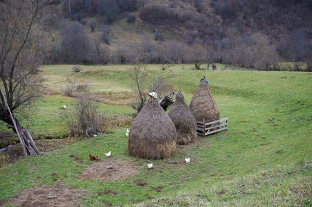 Chickens feeding around three haystacks in rural Romania