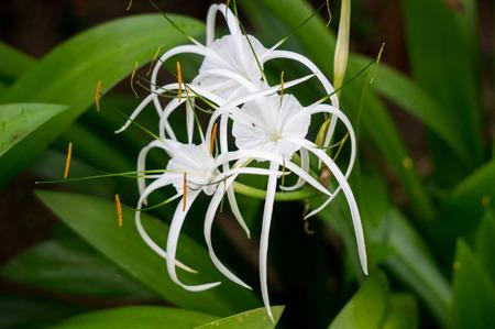 spider lily: Beach Spider Lily