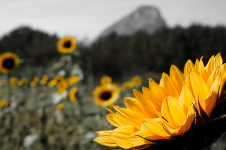 Macro of individual sunflower in a field of sunflowers with hills in the background (B&W)