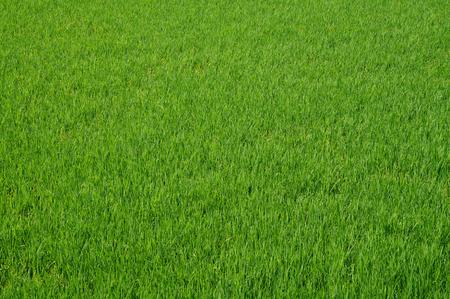 Dense rice field texture