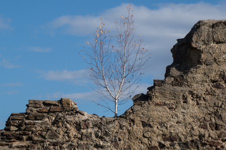 Birch tree growing on top of the ruins of a medieval castle