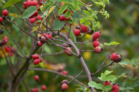 Withered brier fruits (dogberry)
