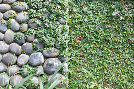 Grapes growing on an old stone wall photo