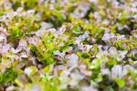 hydroponic: Hydroponic vegetable farm Stock Photo