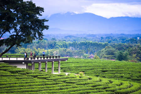 Tea plantation. Nature background