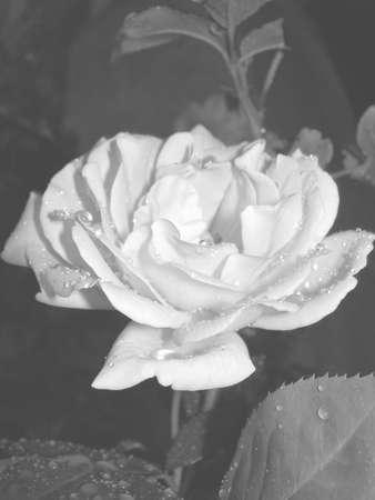 rose 913
