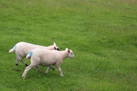 Sheep in Windermere Stock Photo