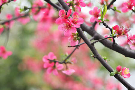 red Plum blossoms  photo