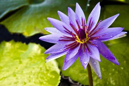 flowers horizontal: Thai lotus , at lotus museum , Bangkok , Thailand