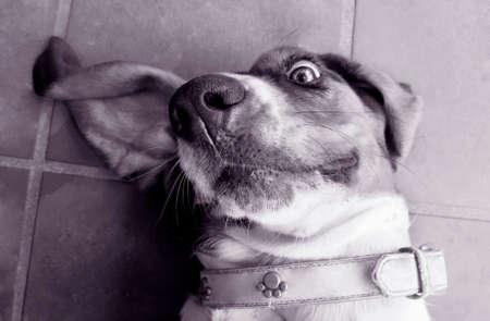 hound: Basset hound