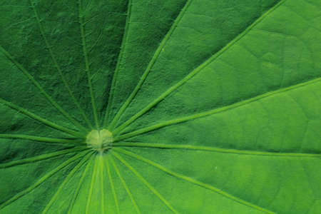 effloresce: Motifs of lotus leaves are beautiful, I photographed this close-up .To see a particular pattern of leaves.