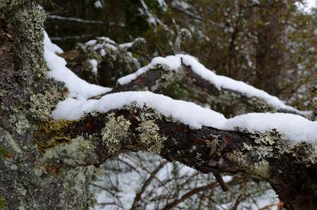 snow on a branch Stock fotó