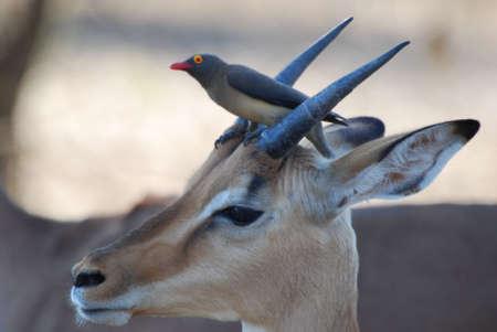 impala: Impala with Red-Billed Oxpecker