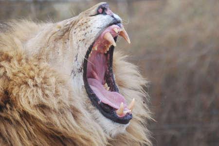 Lion yawning Stock Photo - 7906921