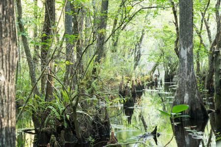 Swamp With Cypress Tree Stumps photo