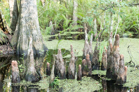 Group Of Cypress Tree Stumps At Florida Swamp photo