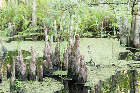 Group Of Cypress Tree Stumps At Swamp photo