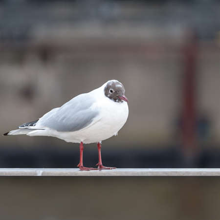 Black headed gull, Larus ridibundus, sitting on a handrail. Selective Focus.